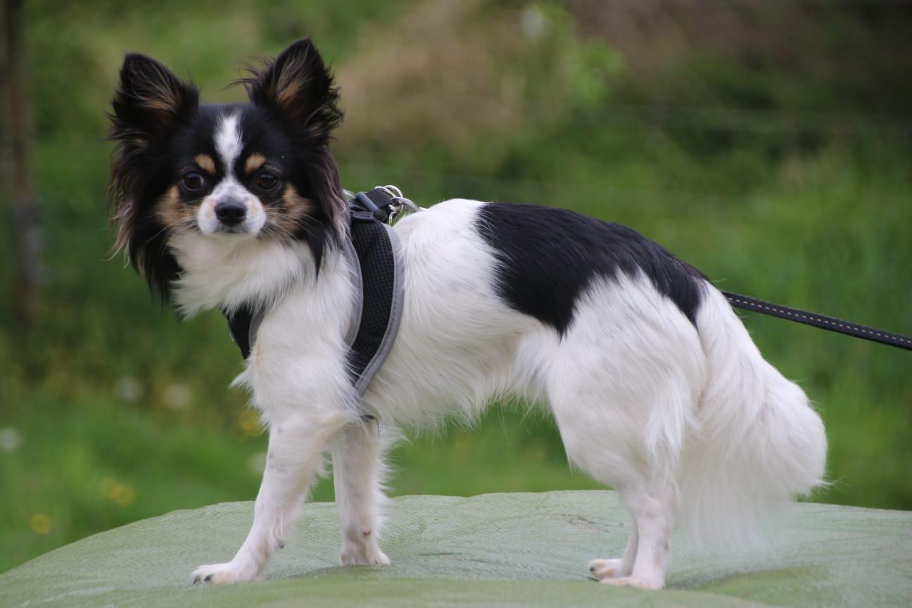 Zeolith für Hunde Chihuahua